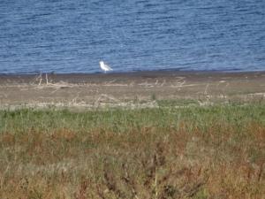 huge sea gull