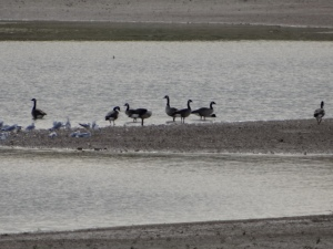 gulls and geese 3